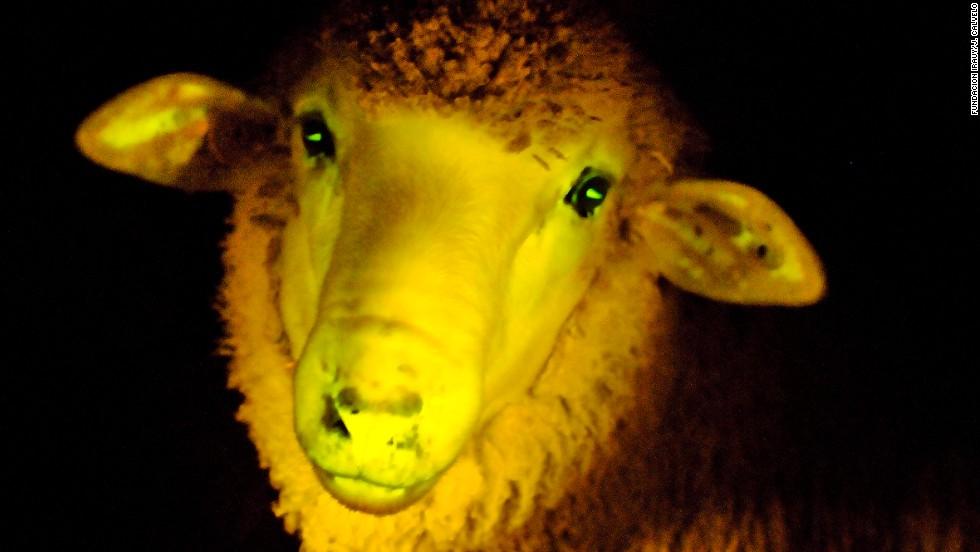 oveja brillante